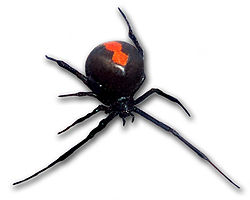 250px-Redback_frontal_view